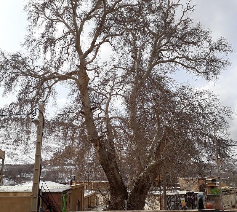 ثبت ملی درختان کهنسال روئین در فهرست میراث طبیعی ملی